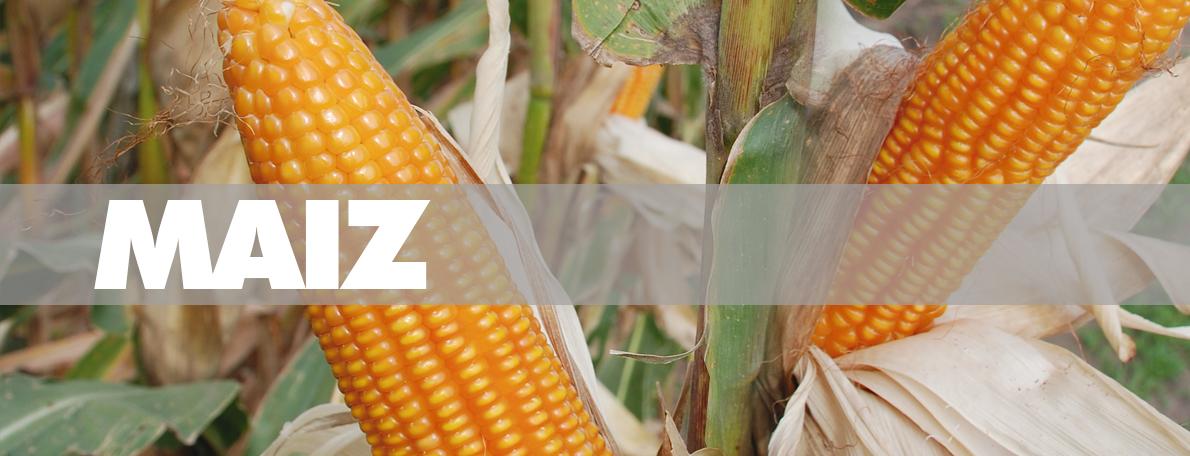 banner_maiz